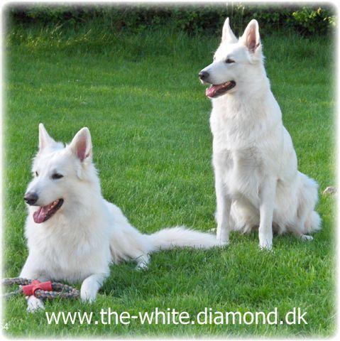 hvid schæfer hundetrimmer