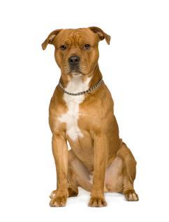 amstaff hunde