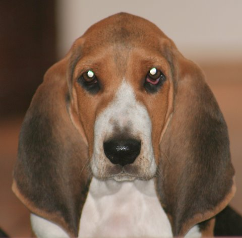 Basset Artesian Normand on Pinterest | Norman, Puppys and Dogs