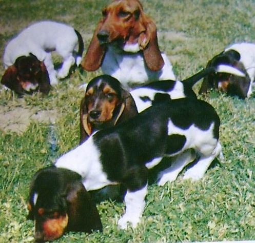 bassethunde hundetrimmer