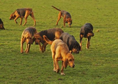 blodhund