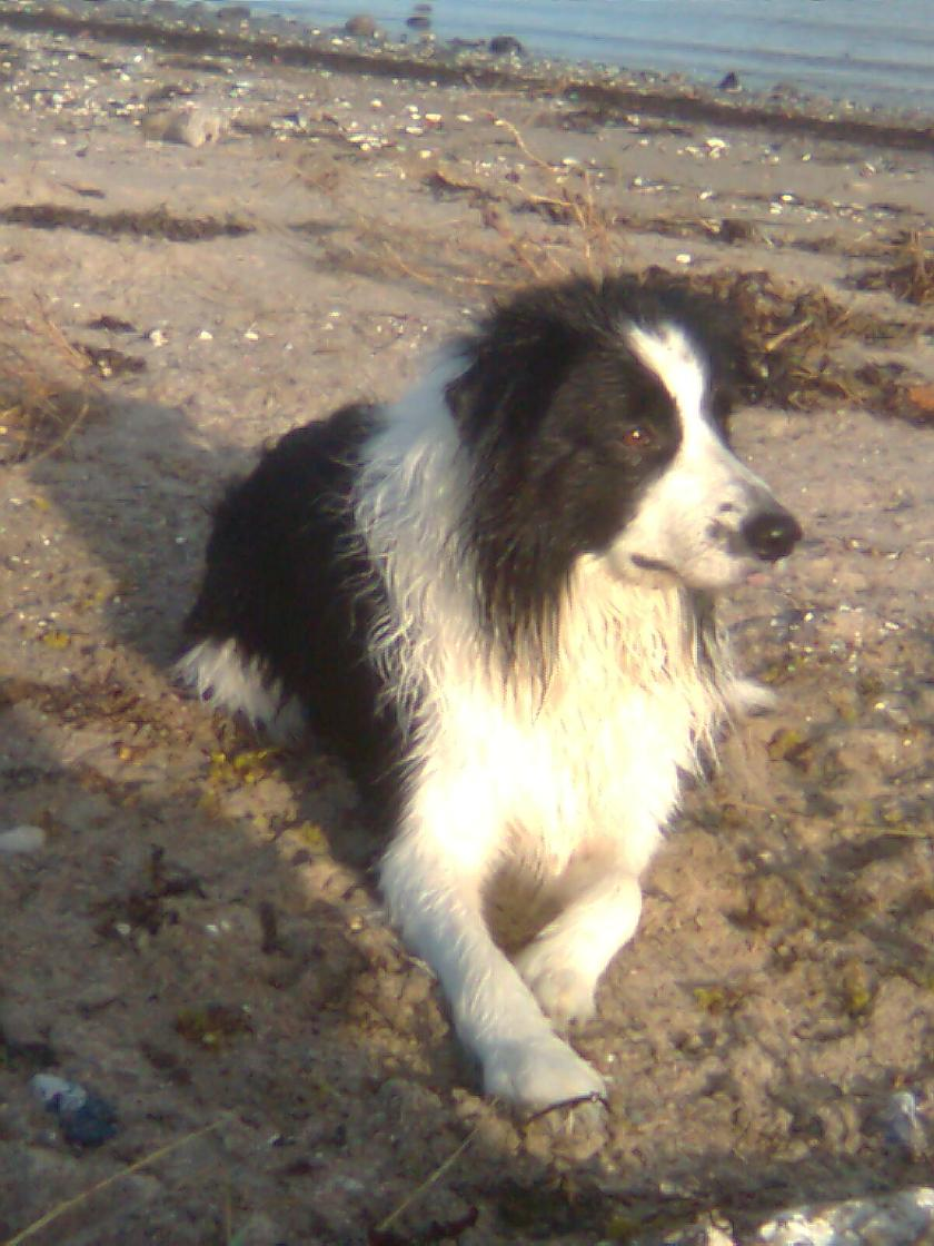 hyrdehunde border collie
