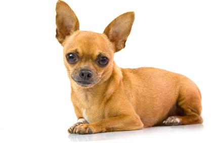 Chihuahua mini hunde