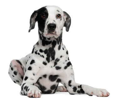 dalmatiner-hunde