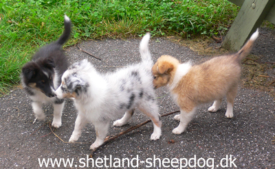 hvalpe shetland sheepdog kennel