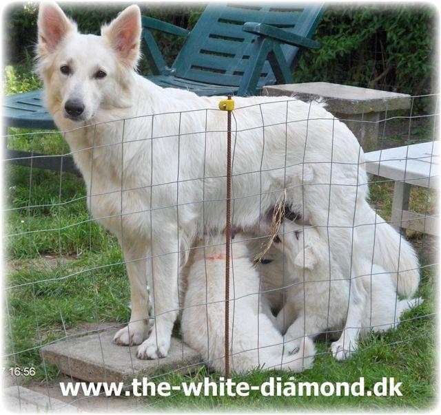 hvide schæfere