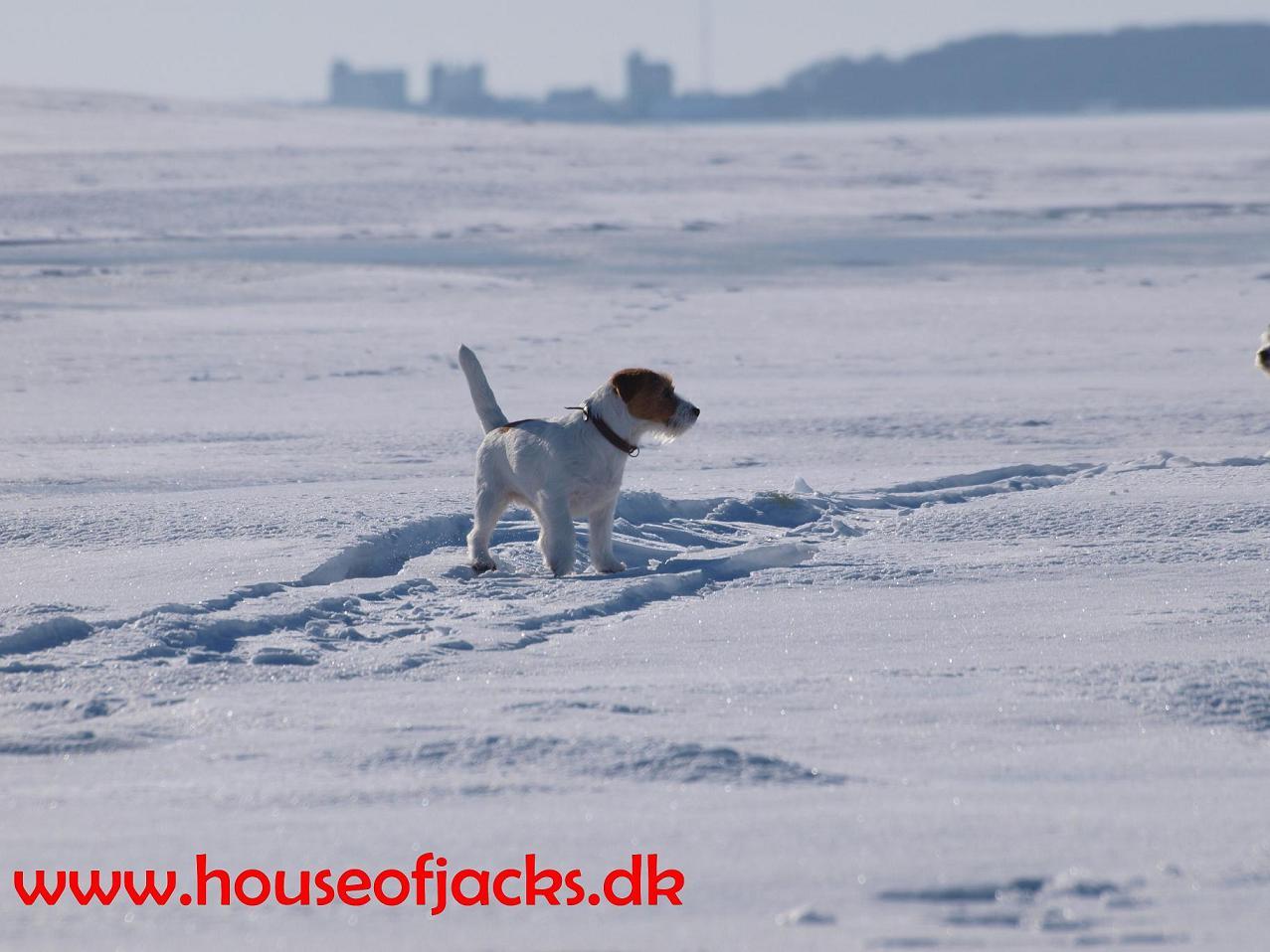 hundetrimmer jack russell terrier