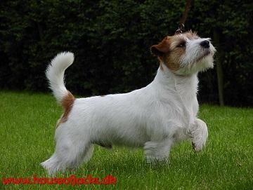 jack russell terrier hunde