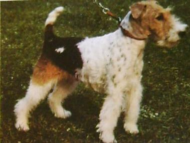 trimmer ruhåret foxterrier