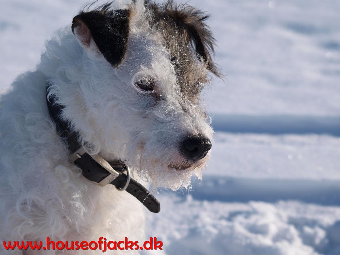 jack russell terrier vovser