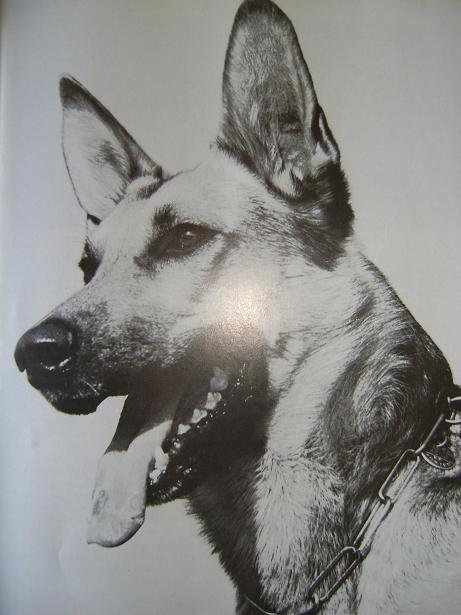 schaefer schæferhunde