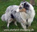 shetland sheepdog blue merle