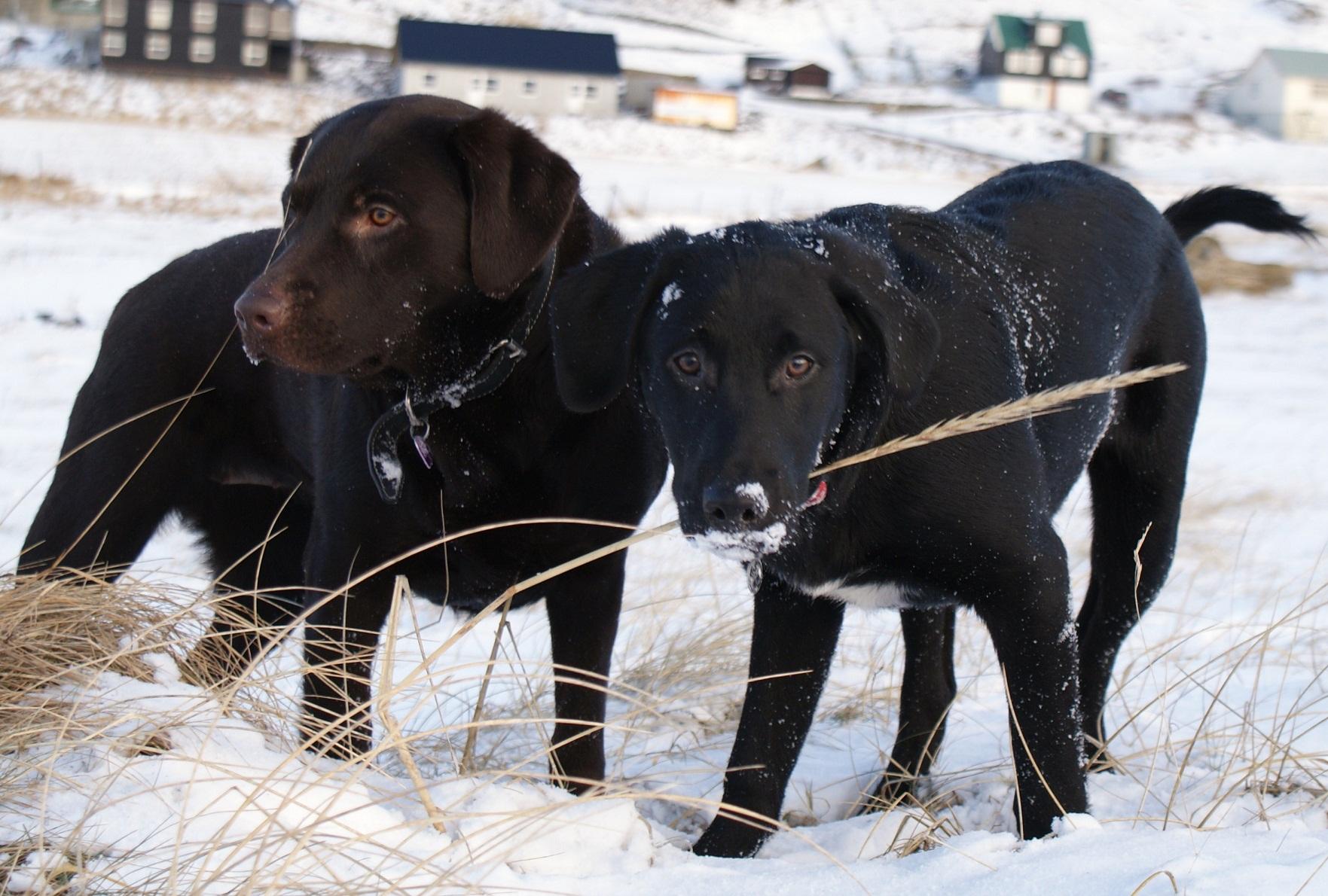 trimmer hund labrador hundetræning hunderacer
