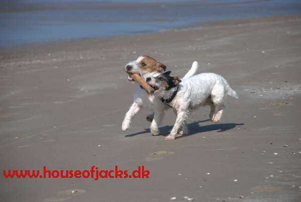 to jack russell terriere i naturen