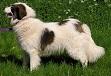 tornjak hunde