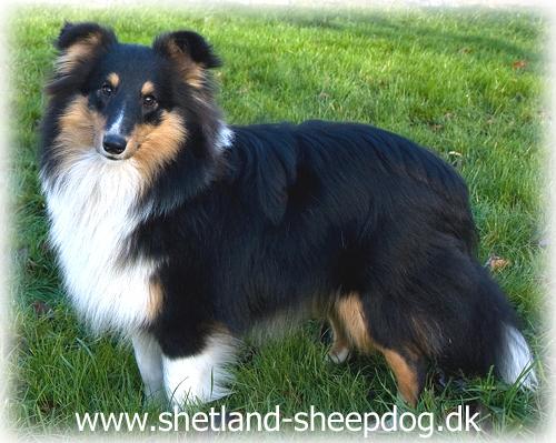 shetland sheepdog tricolor