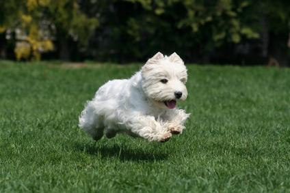 west_highland_white_terrier_westier