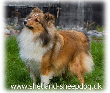 zobel shetland sheepdog